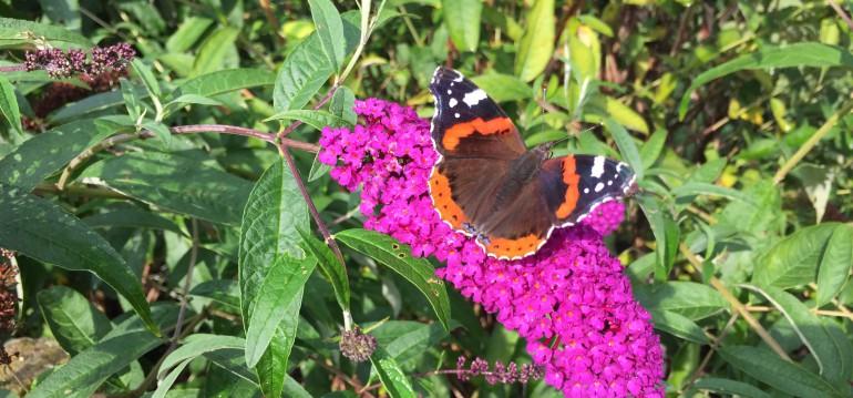 Sommerflieder lockt die Schmetterlinge in den Garten Foto: Elias