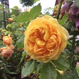 Rosen - Garten - Franks kleiner Garten