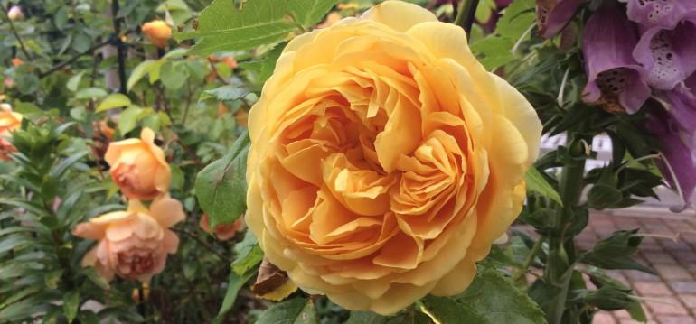 Bei Rosen musst Du unbedingt auf die Qualität achten. Sonst hast Du keine Freude an ihnen