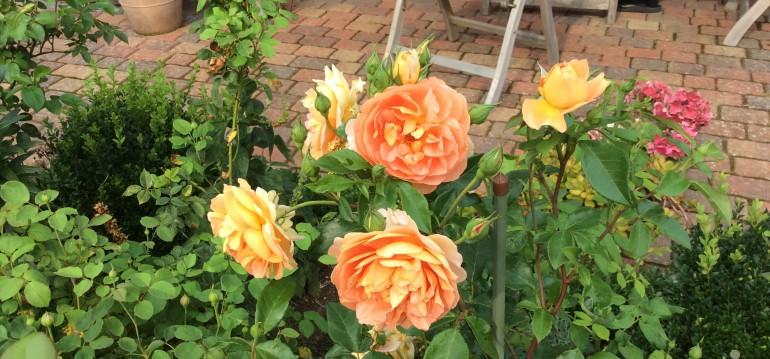 Frühjahrsputz - Rosen - Franks kleiner Garten