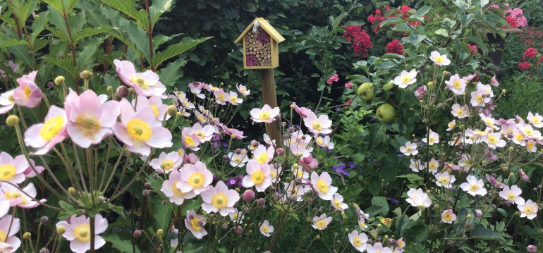 Herbstannemonen bringen zum Ende des Sommers noch einmal richtig Farbe in Deinen Garten