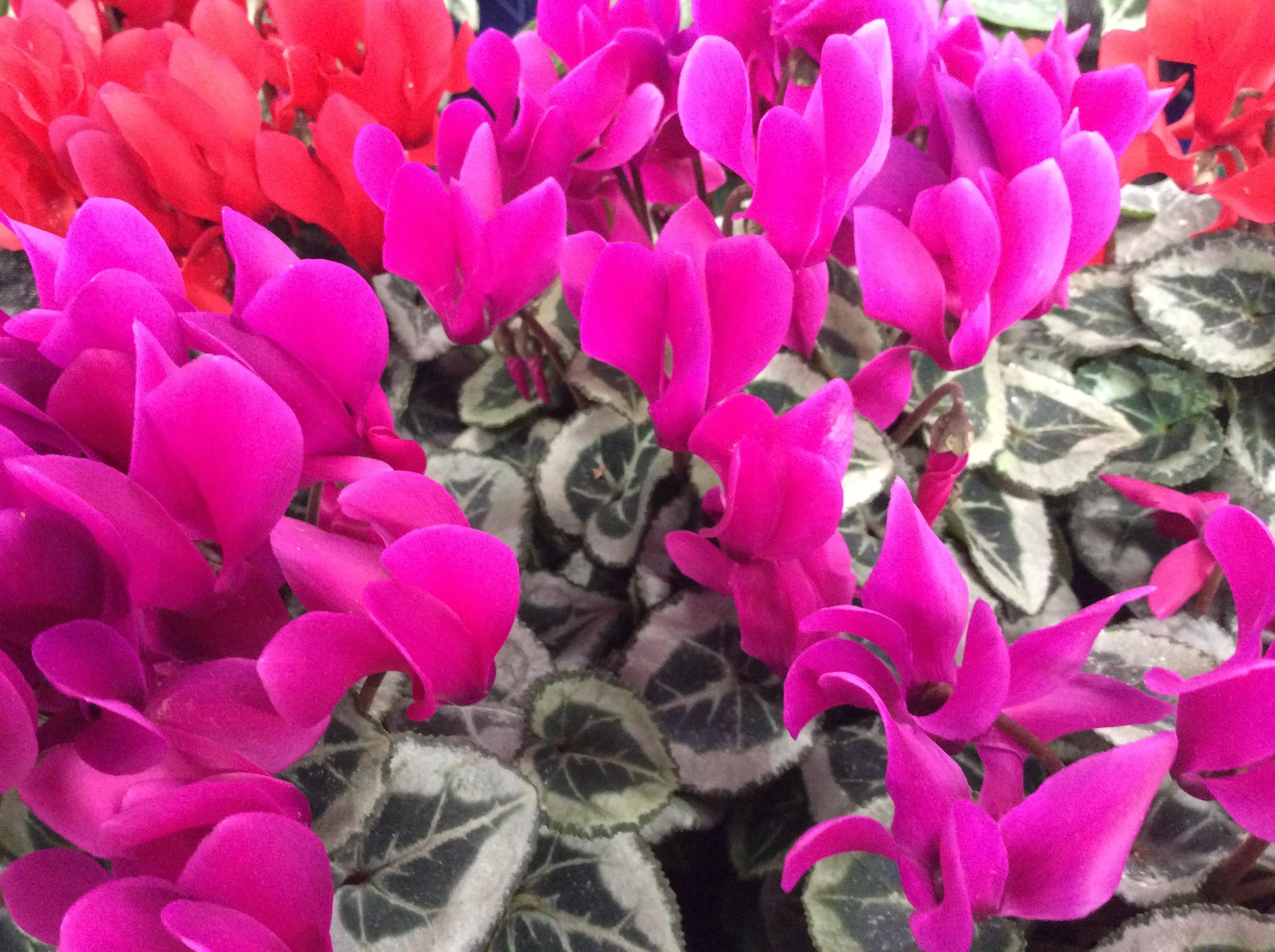 diese pflanzen bringen farbe in den schatten willkommen in franks kleinem garten. Black Bedroom Furniture Sets. Home Design Ideas