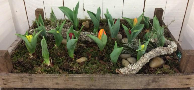 Langsam beginnt mein kleiner Tulpengarten zu blühen