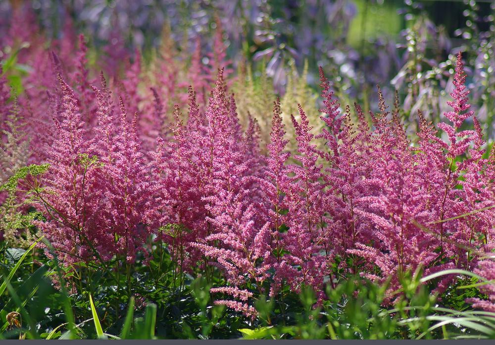 Diese pflanzen bringen farbe in den schatten willkommen for Pflanzen fur den schatten
