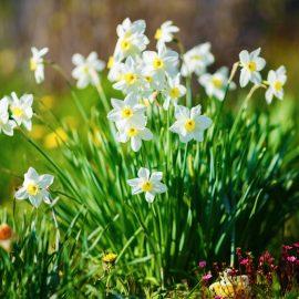 Narzissen - Osterglocken - Franks kleiner Garten