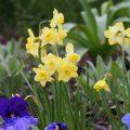 Narzissen - Osterglocken - Stiefmütterchen - Franks kleiner Garten