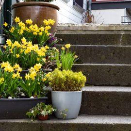Narzissen - Osterglockern - Frühling - Haustreppe - Franks kleiner Garten