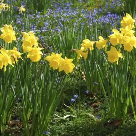 Narzissen - Osterglocken - Frühling - Garten - Beet - Franks kleiner Garten