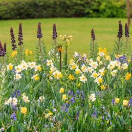Narzissen - Osterglocken - Frühling - Blumenbeet - Franks kleiner Garten