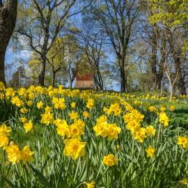 Narzissen - Osterglocken - Wiese - Frühling - Franks kleiner Garten