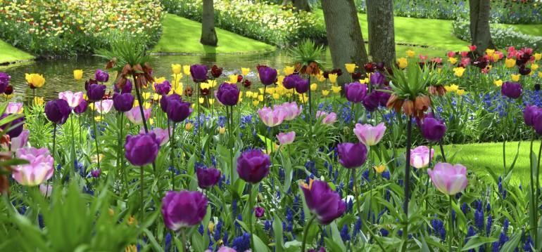 Die Tulpe stammt ursprünglich aus Zentralasien. Im 16. Jahrhundert kam sie dann nach Holland