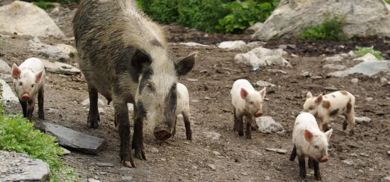 Das weibliche Wildschwein, auch Bache genannt, lebt mit ihren Frischlingen in einem festen Familienverband