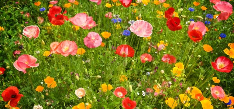 Auch eine Blumenwiese will gepflegt werden. Du solltest sie mindestens zwei mal im Jahr mähen