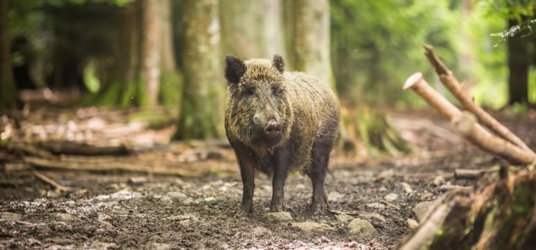 Wildschweine leben in Laubwäldern und gerne und er Nähe von Tümpeln und Seen: Grund: Sie suhlen sich gerne im Schlamm, schützen sich so vor Parasiten