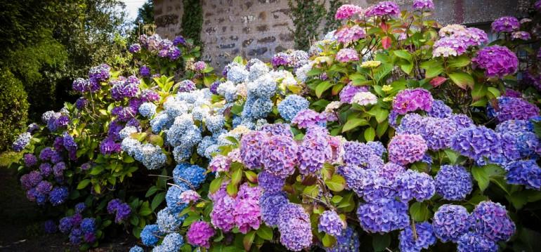 Hortensien - Garten - Fachwerkhaus - Bretagne - Franks kleiner Garten