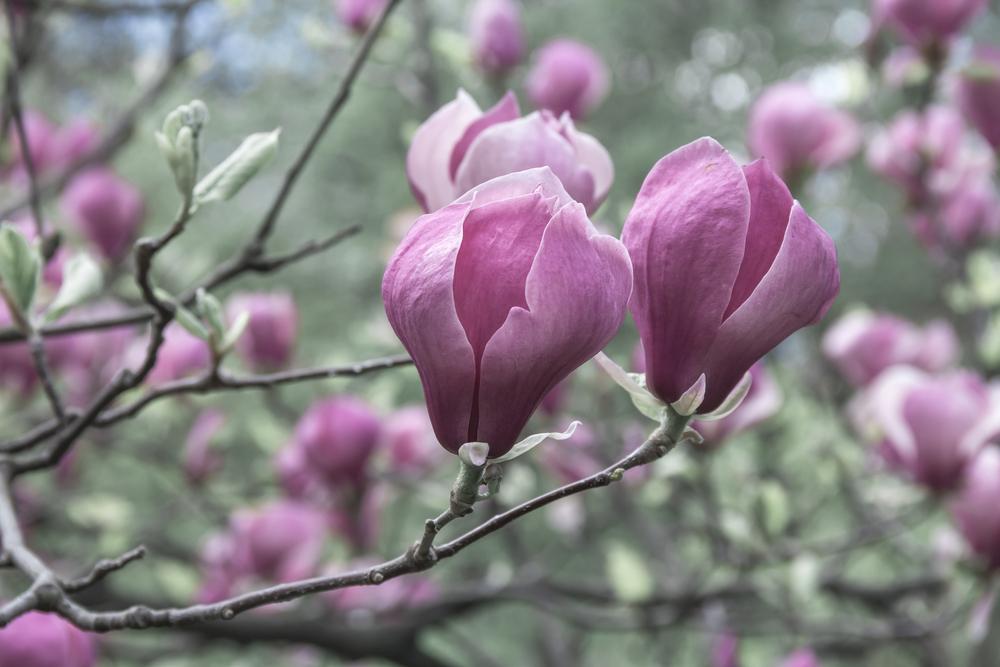 traumhafte magnolien 6 wichtige pflegetipps willkommen. Black Bedroom Furniture Sets. Home Design Ideas