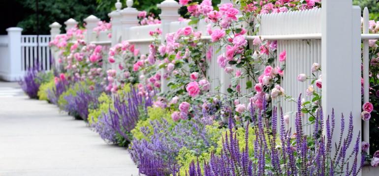 Rosen - Zaun - Franks kleiner Garten