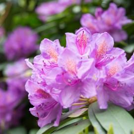 Rhododendron - Franks kleiner Garten