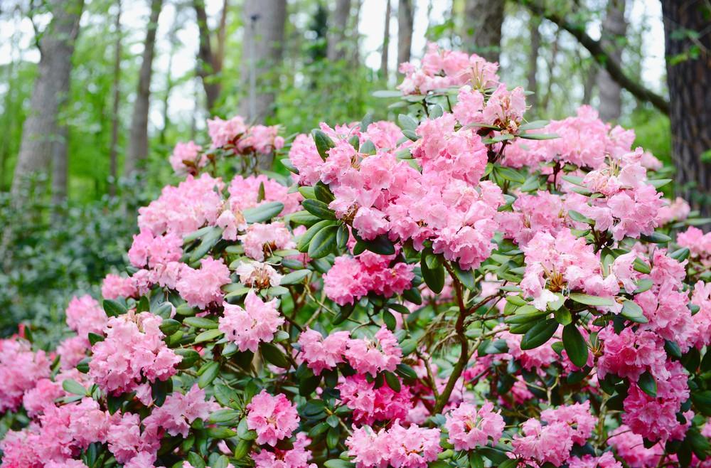 rhododendron busch lcrms willkommen in franks kleinem. Black Bedroom Furniture Sets. Home Design Ideas