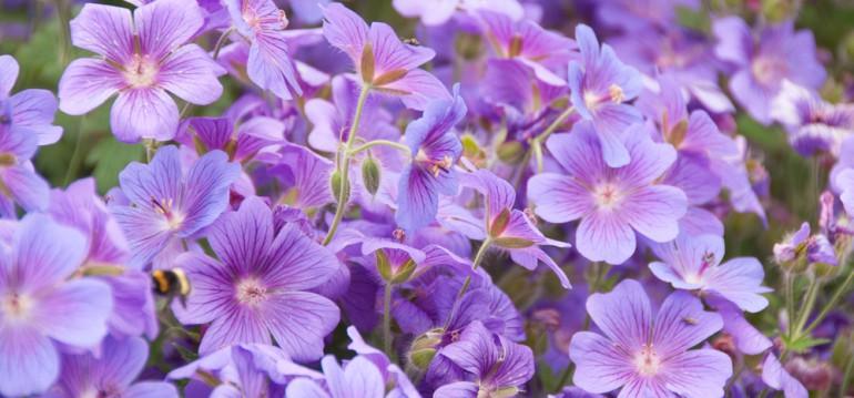 Bodendecker - Schattenbalkon - Storchenschnabel - Franks kleiner Garten