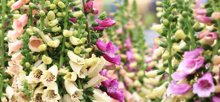 Lückenfüller - Fingerhut - Frühling - Sommer - Zweijährige - Bienenweide - Franks kleiner Garten