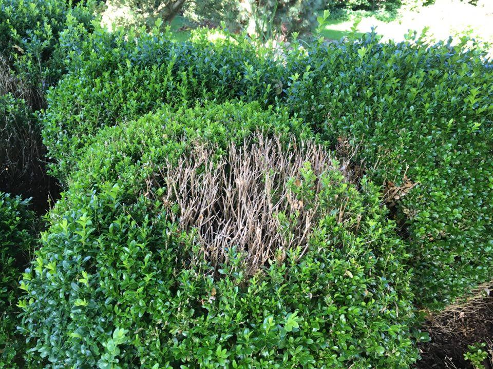 ein pilz bedroht deinen buchsbaum willkommen in franks. Black Bedroom Furniture Sets. Home Design Ideas