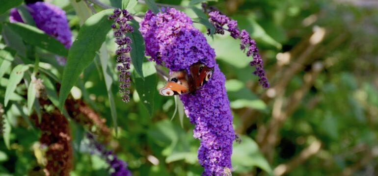 Sommerflieder - Schmetterlingsflieder - Juli - Garten - Franks kleiner Garten