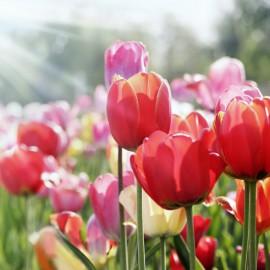 Tulpen - Blumenzwiebeln - November - Franks kleiner Garten