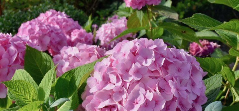 Hortensien - August - Sommer - 2020 - Endless Summer - Franks kleiner Garten
