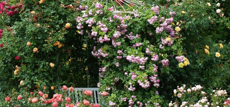 """Die Rosen """"Jasmina"""" und """"Alpha"""" von Kordes"""