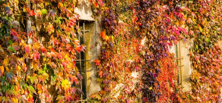 Wilder Wein Foto: shutterstock