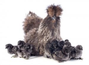 Niedliche Seidenhühner. Foto: cynoclub/shutterstock