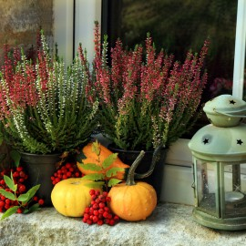 Heide - Kürbisse - Fensterbank – Franks kleiner Garten