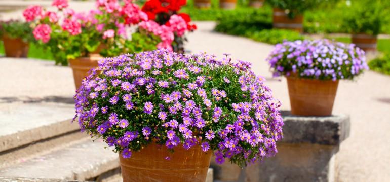 Astern - Topf - Terrasse - Eingang - Herbst - Franks kleiner Garten