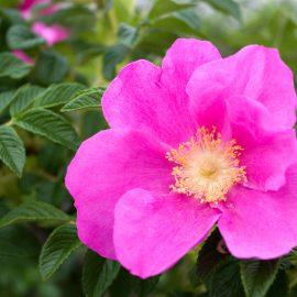 Hecke - Sichtschutz - Rose - Kartoffelrose - Franks kleiner Garten