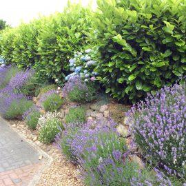 Hecke - Lavendel - Kirschlorbeer - Hortensien - Franks kleiner Garten