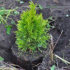 Hecke - Sichtschutz - Zypresse - Pflanzung - Franks kleiner Garten