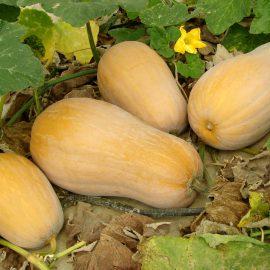 Kürbis - Butternut - Ernte - Acker - Nutzgarten - Franks kleiner Garten
