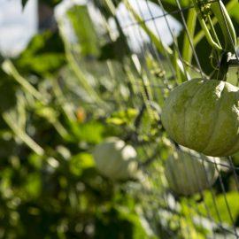 Herbst - Kürbis - Ernte - Aufzucht - Spalier - Franks kleiner Garten
