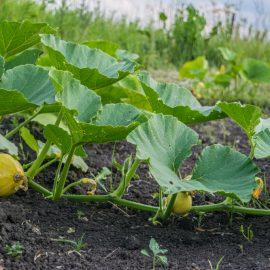Kürbis - Triebe - Acker - Nutzgarten - Franks kleiner Garten