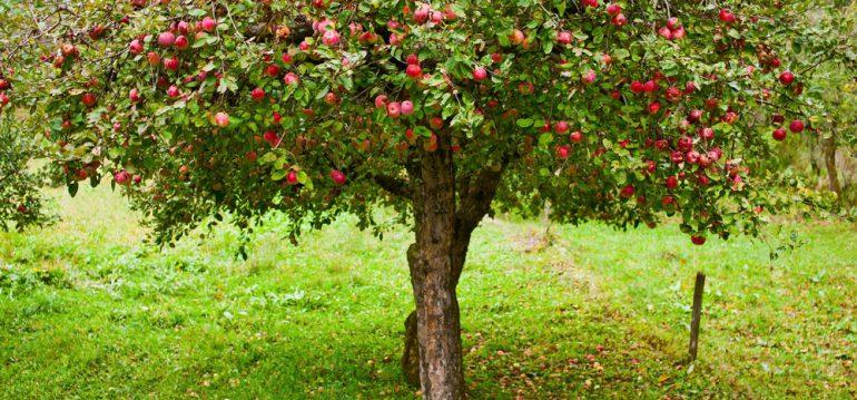 November - Herbst - Obstbaum - Früchte - Franks kleiner Garten