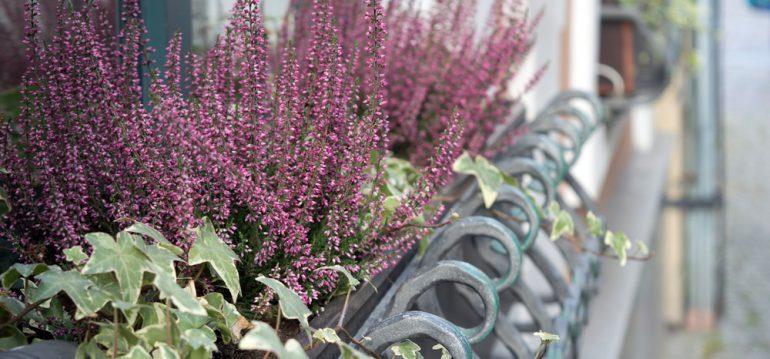November - Herbst - Balkon - Heidekraut - Efeu - Erika - Franks kleiner Garten