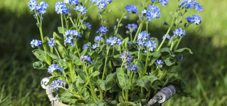 November - Herbst - Vergissmeinnicht - Blüten - Topf - Franks kleiner Garten
