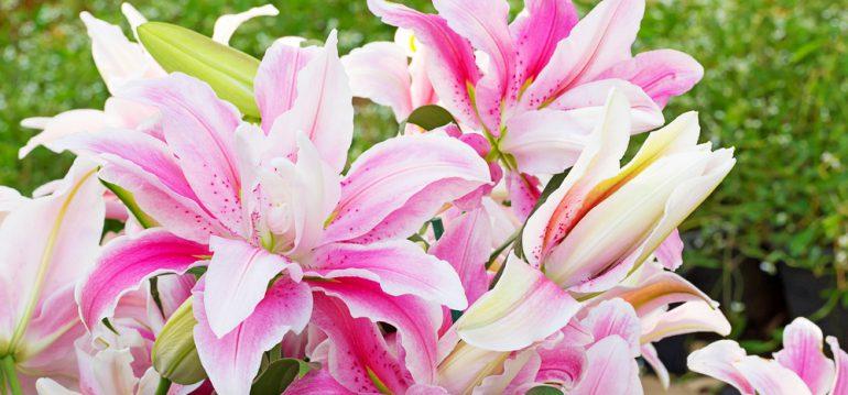 November - Herbst - Lilien - Garten - Beet - Begleitpflanzen - Franks kleiner Garten