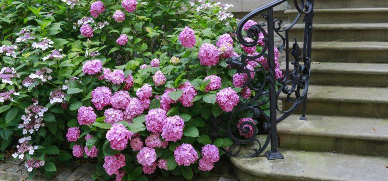 so sch tzt du deine hortensien vor frost willkommen in. Black Bedroom Furniture Sets. Home Design Ideas