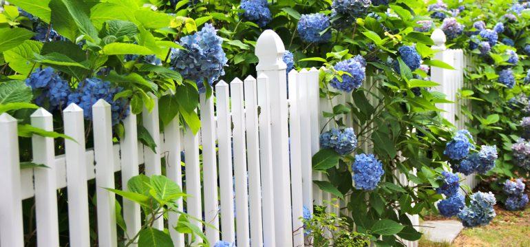 Hortensien – Düngen - Sommer - Gartenzaun - Blütenpracht - Franks kleiner Garten