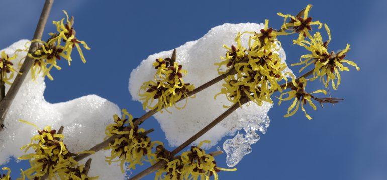 Frühling - Winter Blüten - Zaubernuss - Franks kleiner Garten