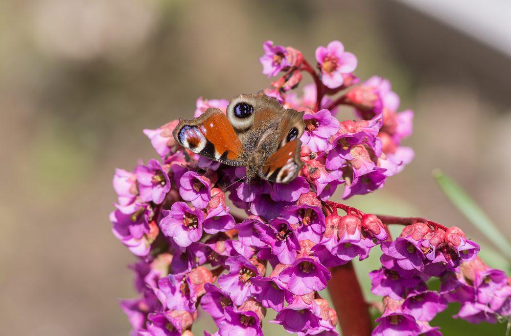 Garten - Gartenanfänger - Gartentipps - Schmetterling - Pfauenauge - Franks kleiner Garten