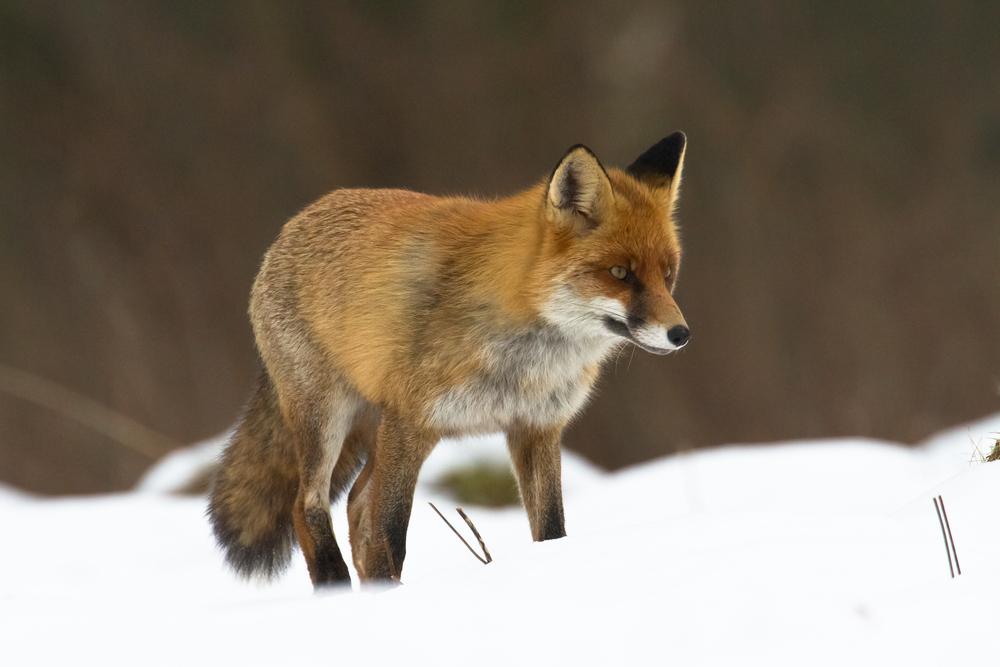Fuchs Im Garten Niedlich Oder Doch Gefährlich Willkommen In