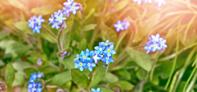 Lückenfüller - Vergissmeinnicht - Frühjahr - Sommer - Beet - Franks kleiner Garten